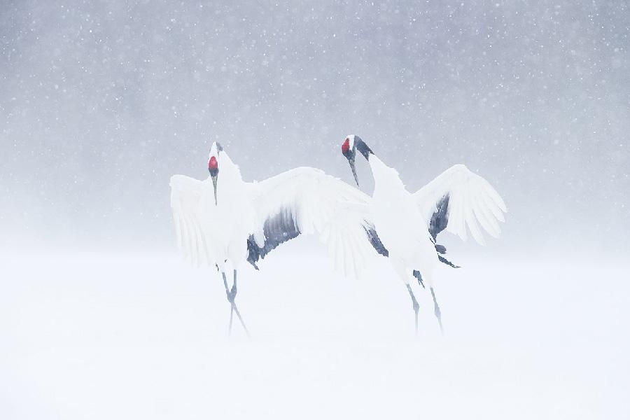 Jeremie Villiet Chinese kraanvogels