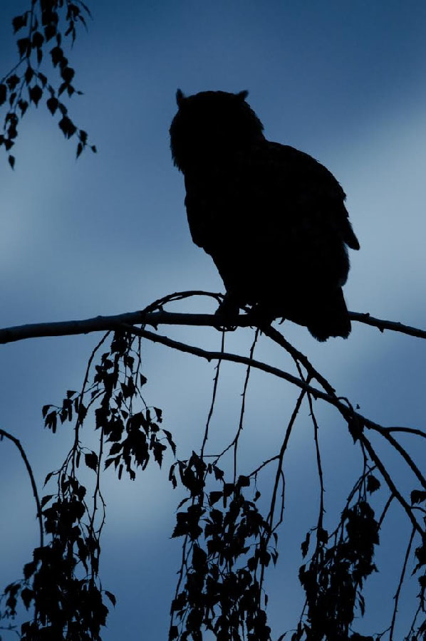 Kevin Winterhoff Uil silhouet