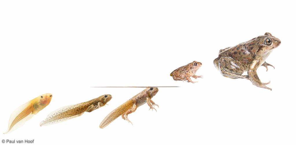 Common Spadefoot Toad Pelobates fuscus
