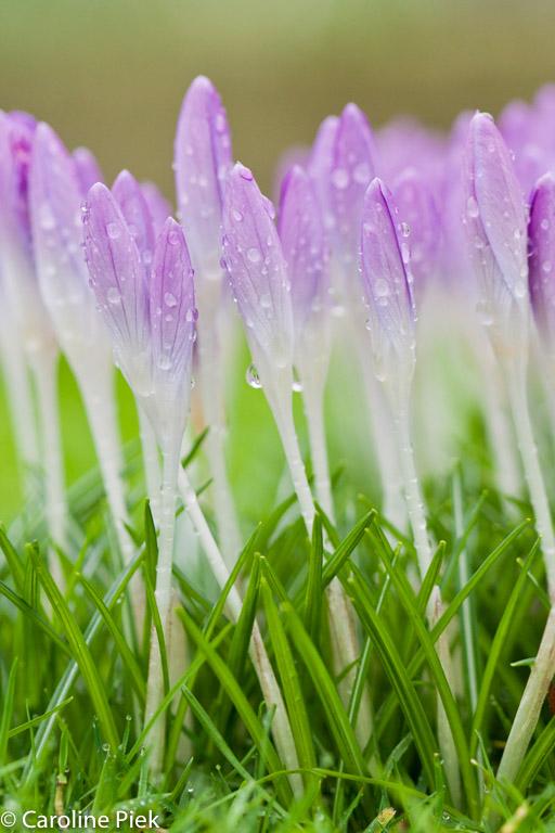 Regendruppels geven net wat extra's aan bloemen en kleuren zijn intenser.
