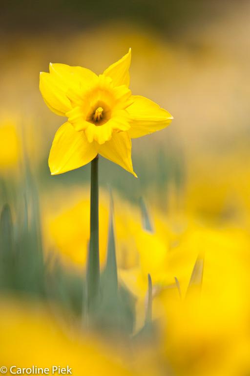 Een telelens werkt ideaal om deze narcis te isoleren uit een enorme bloemenzee.