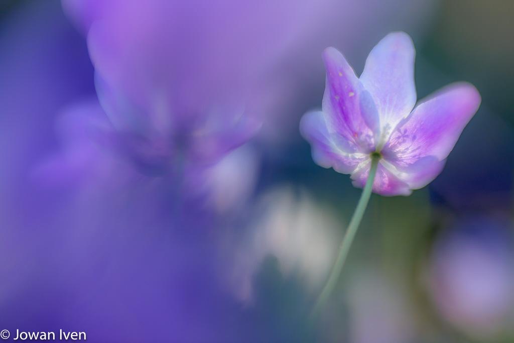 Precies de goede lichtval om de stampers als silhouet op de bloemblaadjes te krijgen.