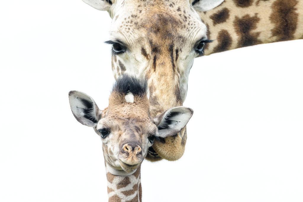 Een aandoenlijk tafereel van moeder giraf met baby.