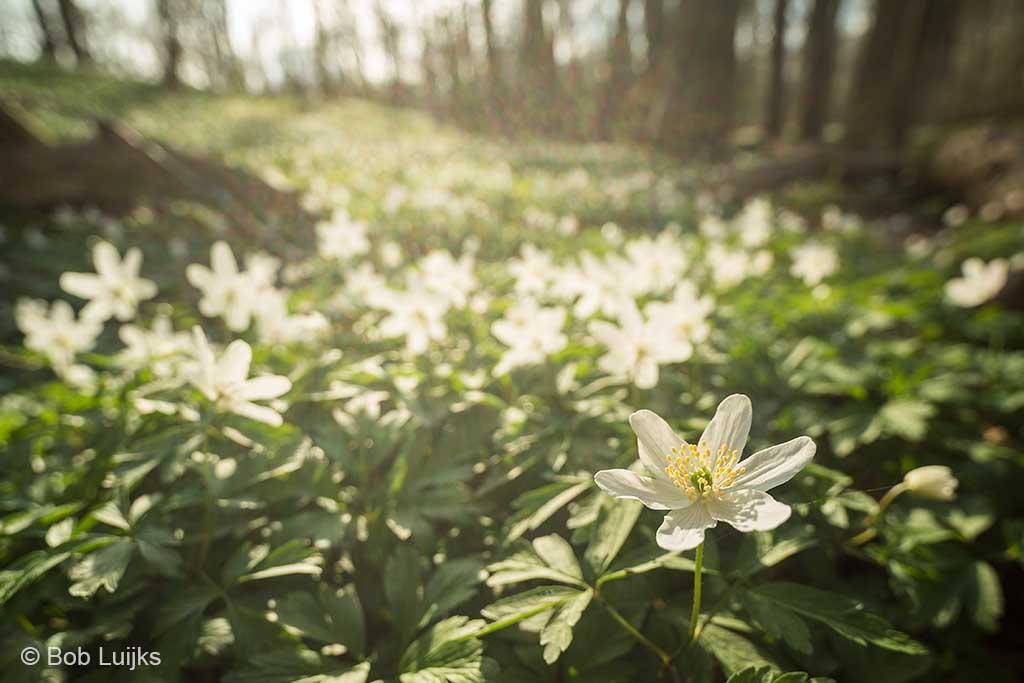 Massale bloei van bosanemonen, het ultieme lentegevoel.