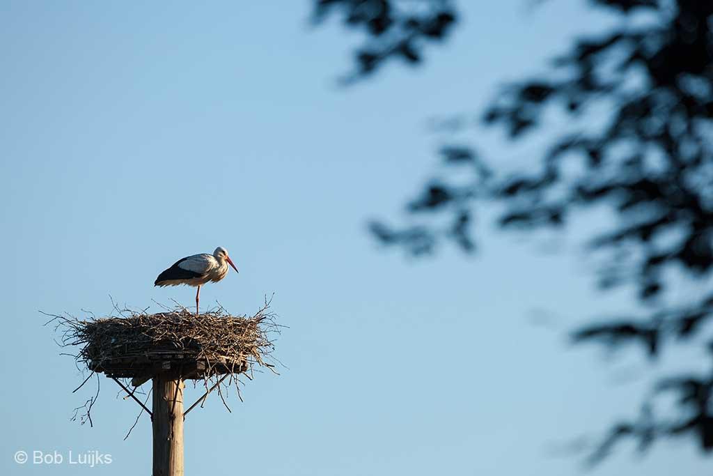 Ooievaar op het nest.