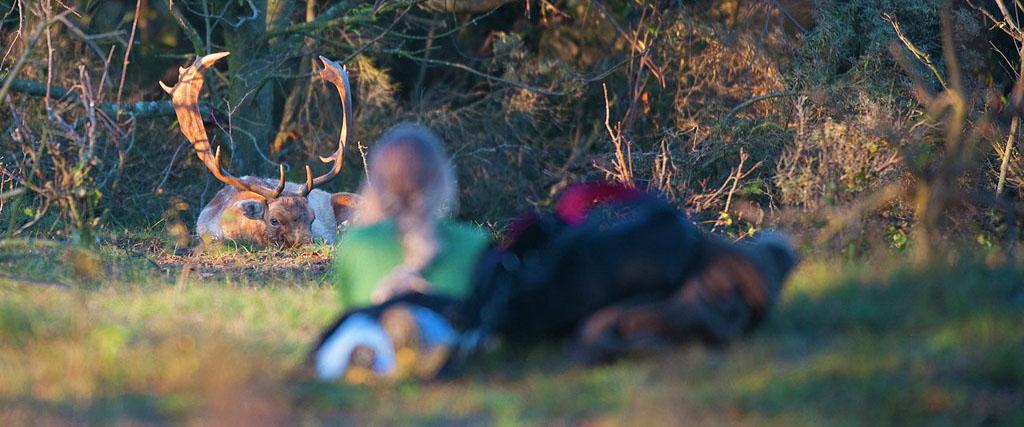 Damhert-dama-dama-fallow-deer-Nico-van-Kappel-Buiten-beeld-160709-1