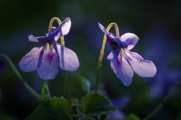 VIola reichenbachiana; Donkersporig bosviooltje; Early Dog-viole