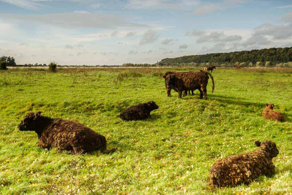 Rustende Galloway runderen met op de achtergrond de Grebbeberg