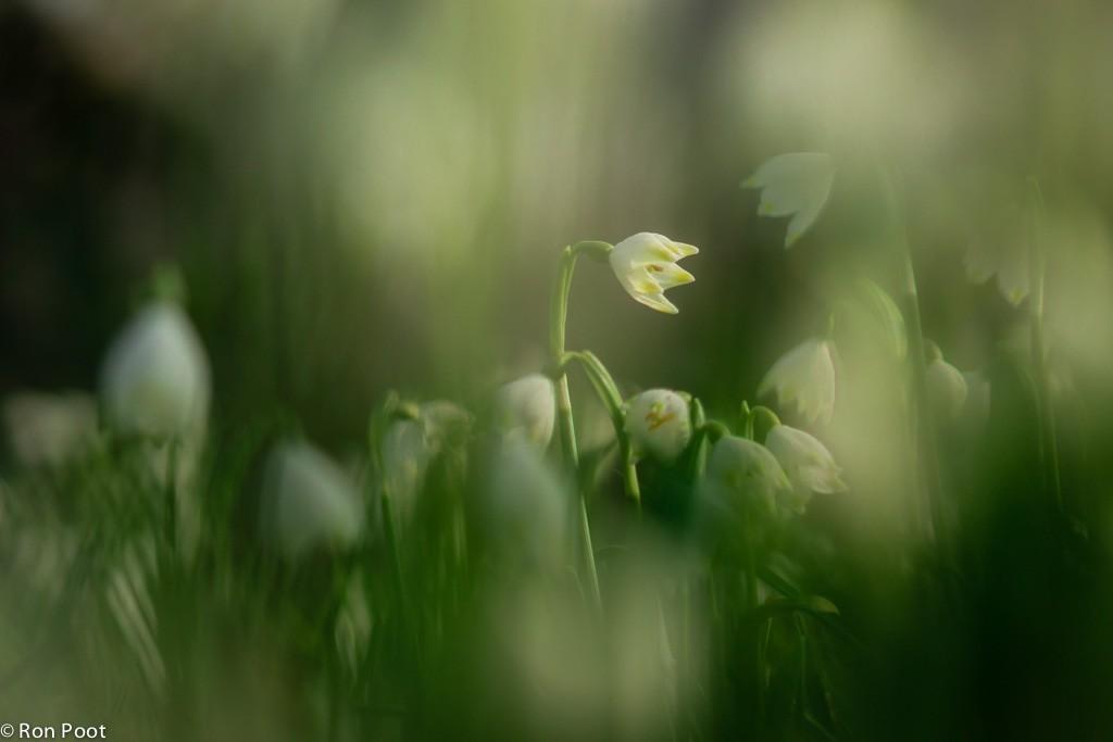Lenteklokjes, gefotografeerd door ander bloemen heen.