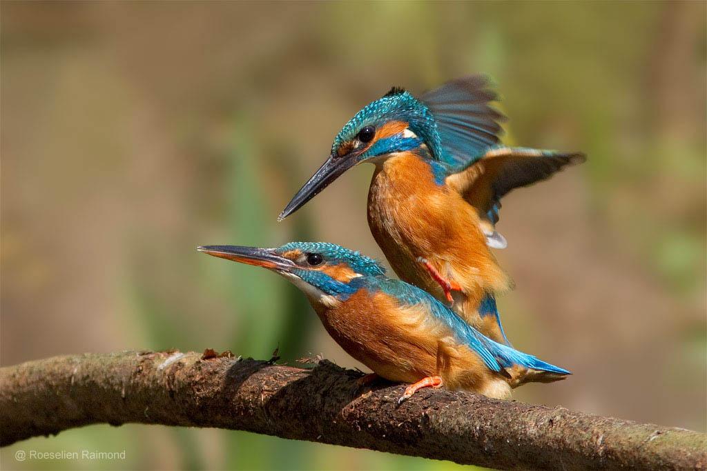 Ijsvogels, vlak voor de paring