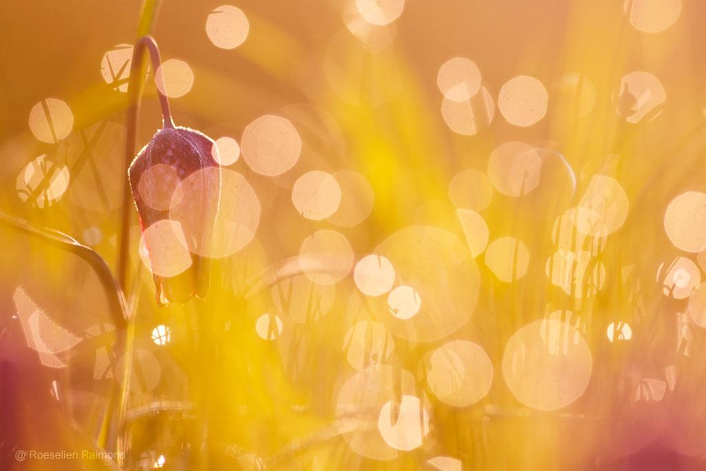 Kievitsbloemen in ochtendlicht