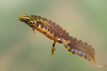 1 kleine watersalamander HOOFDFOTO
