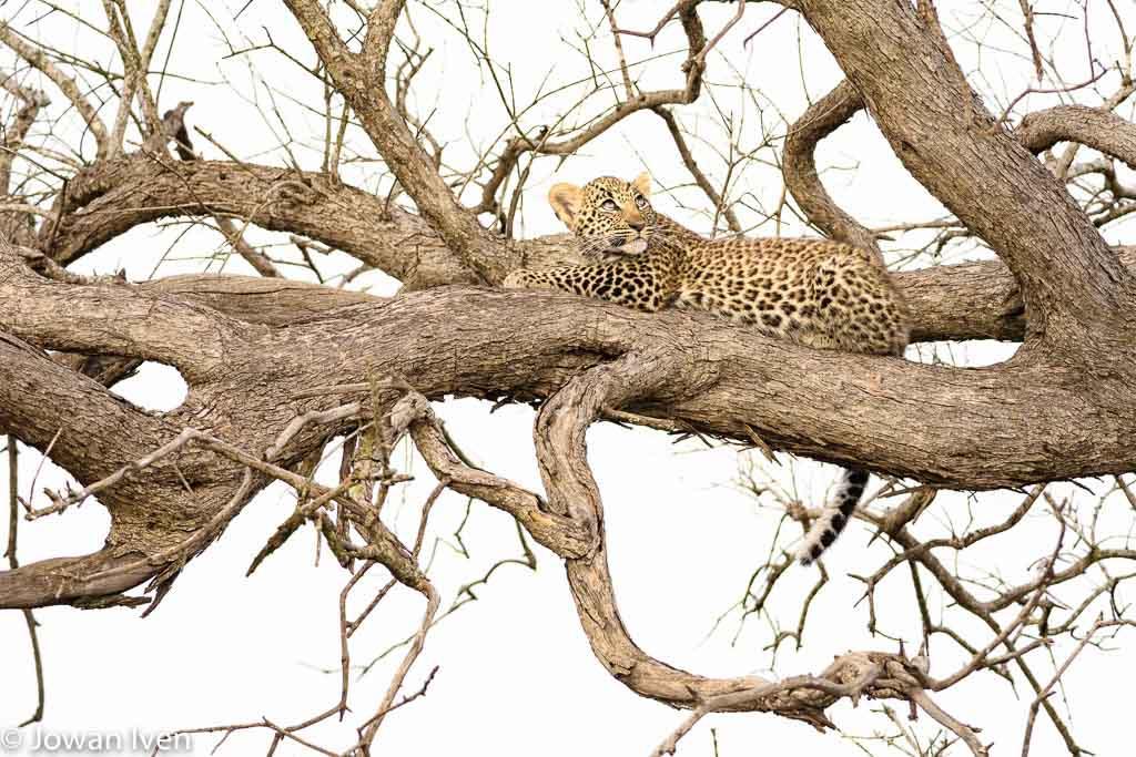 Onze gids spotte dit jonge luipaardje als eerste.