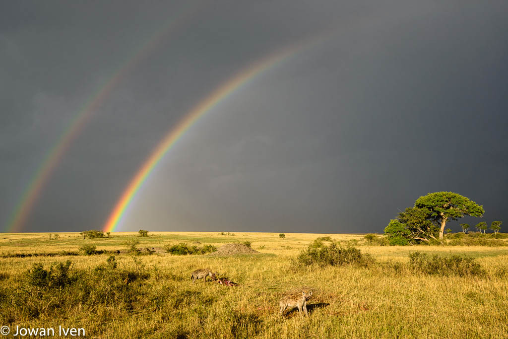 Hyena's na een recente kill met twee regenbogen op de achtergrond Een van de meest magische momenten die ik daar beleefde.