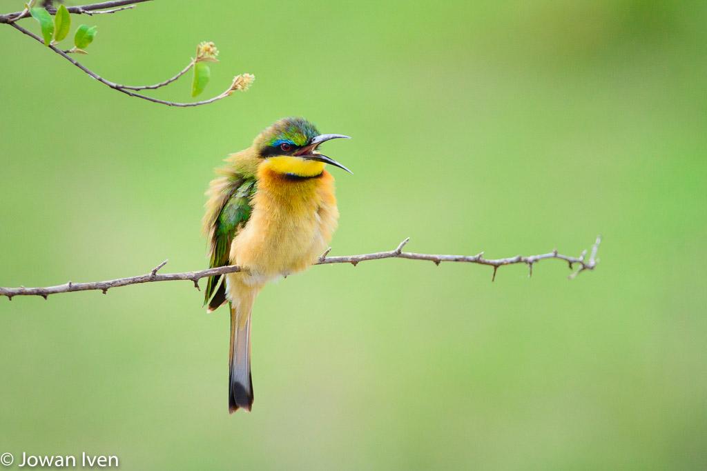 Bijeneter; Een vrolijke en kleurrijke verschijning langs de rivieren.