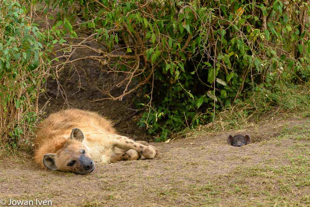 Zo'n langzame chauffeur, slaapverwekkend gewoon. Zoekplaatje, waar is de tweede hyena?
