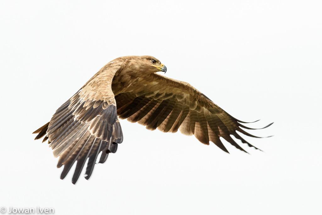 De savanne bekijken vanuit de lucht, zoals deze tawny eagle (Aquila rapax- savannearend)
