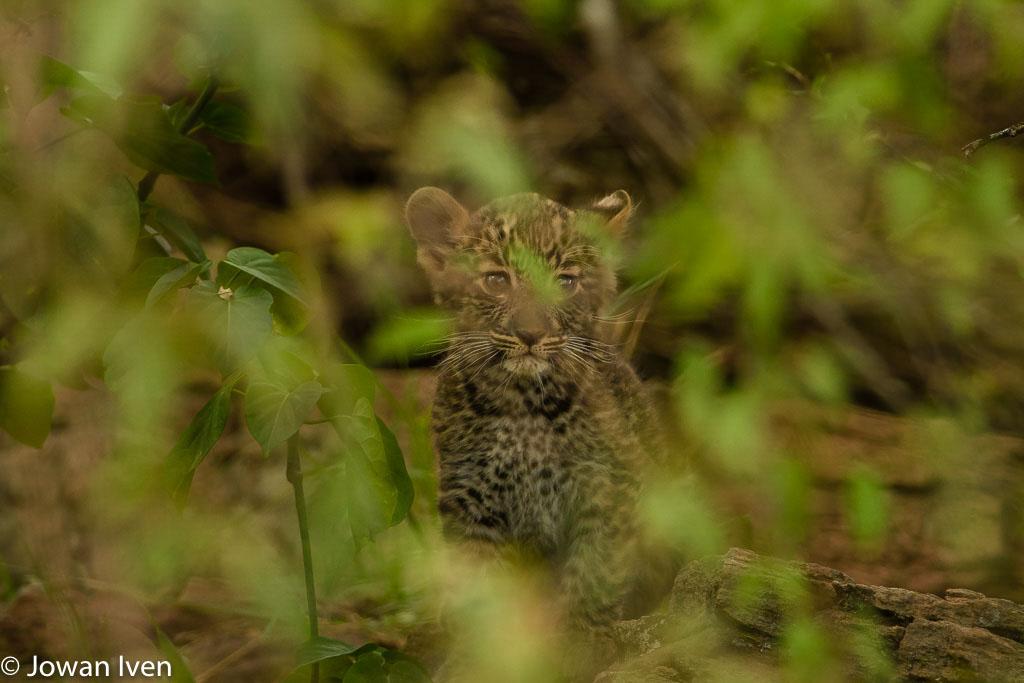 We kregen veel jonge dieren voor onze lens zoals dit hele jonge luipaardje.