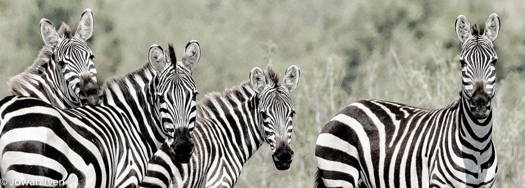 Het bleek nog best lastig om een shot te krijgen waarin zebra's me recht aankeken, vaak lopen meteen ze van je af.