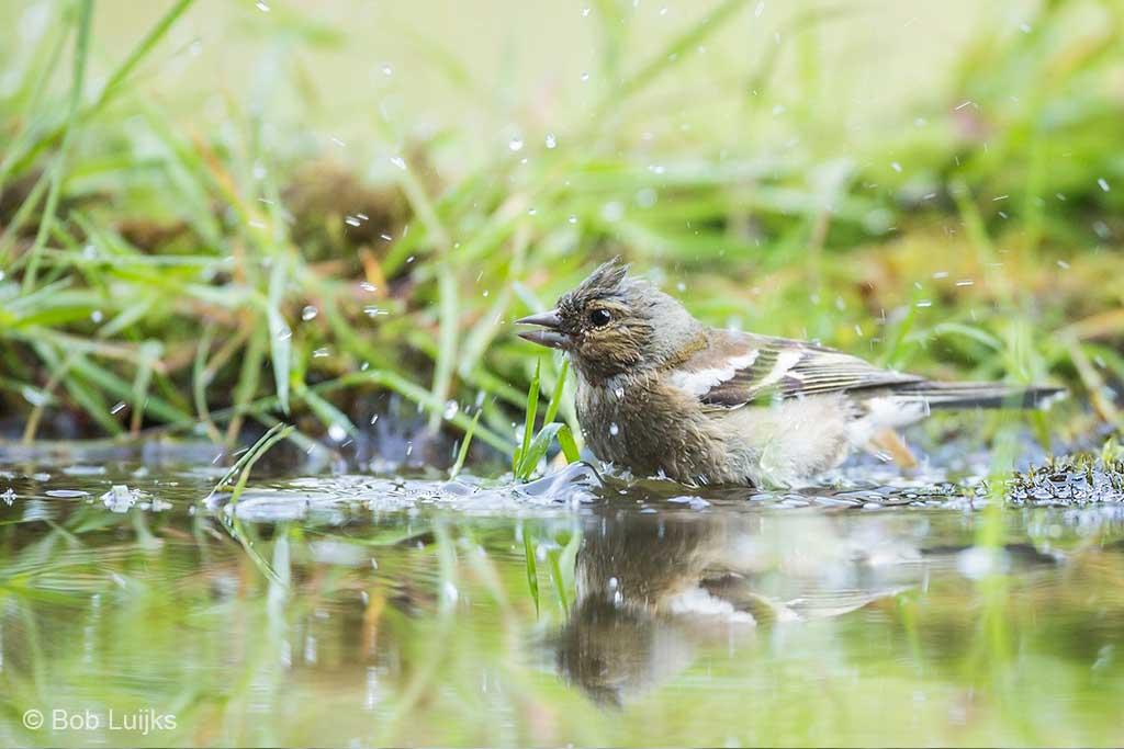 Biedt in plaats van voer ook eens water aan. Op warme dagen komen vogels graag een bad nemen.