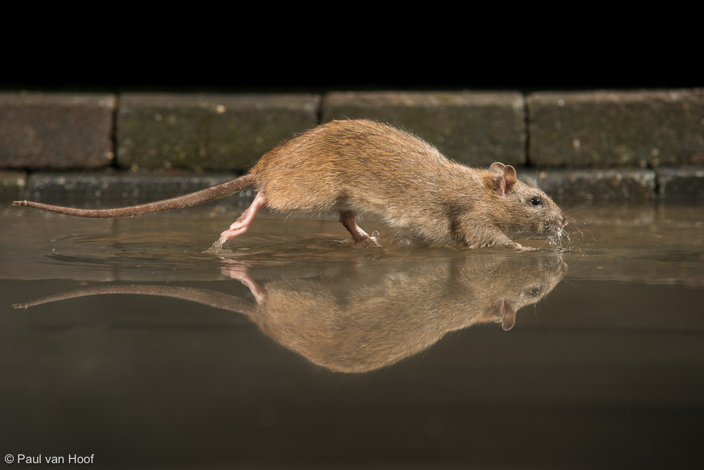 Bruine rat; Brown rat; Rattus norvegicus
