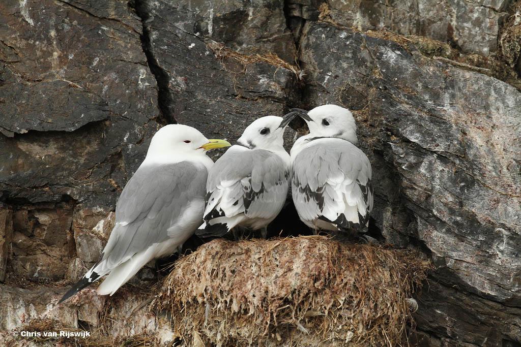 Een drieteenmeeuwfamilie op een richeltje.