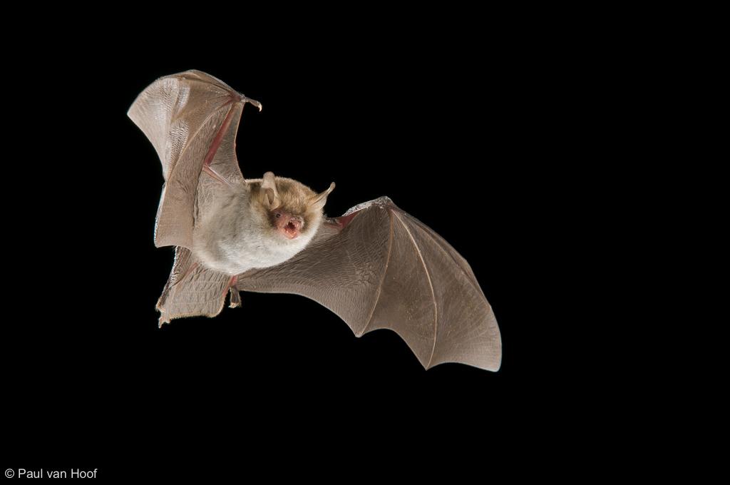 Franjestaart; Natterer's bat; Myotis nattereri