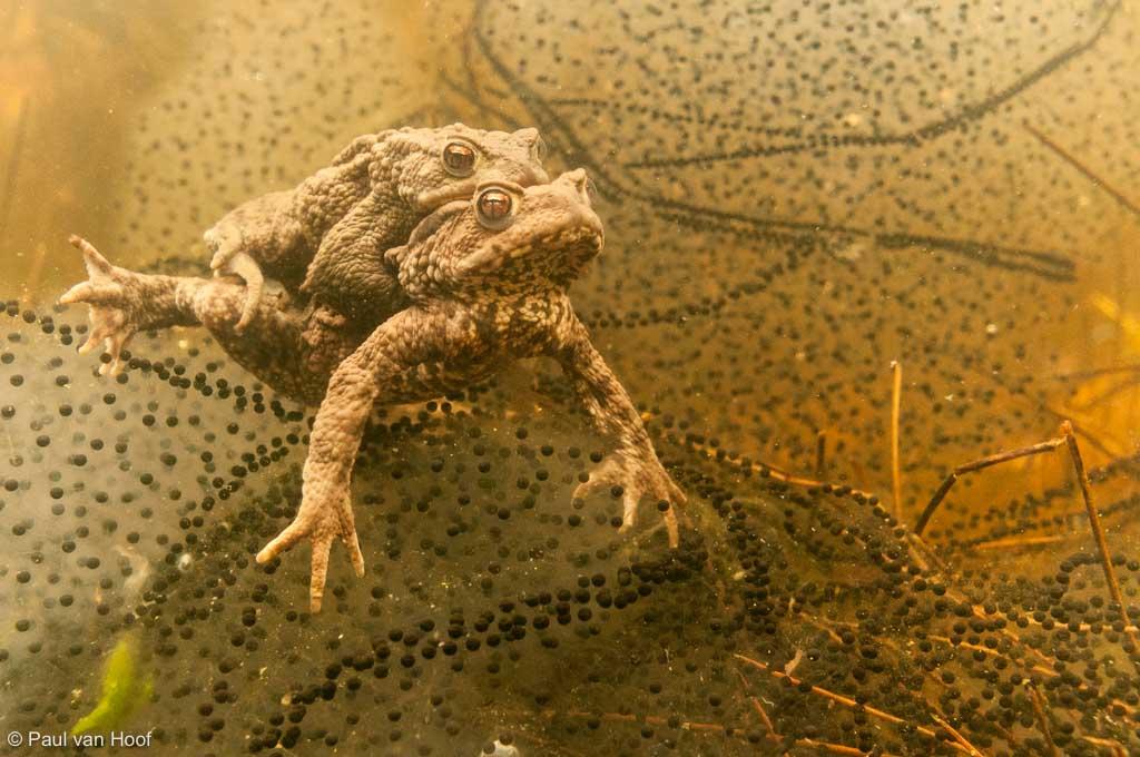 Moederpad met paddendril
