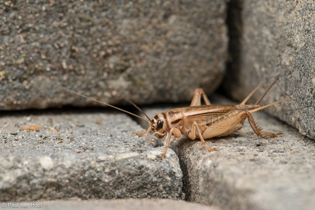 Huiskrekel; House cricket; Acheta domesticus