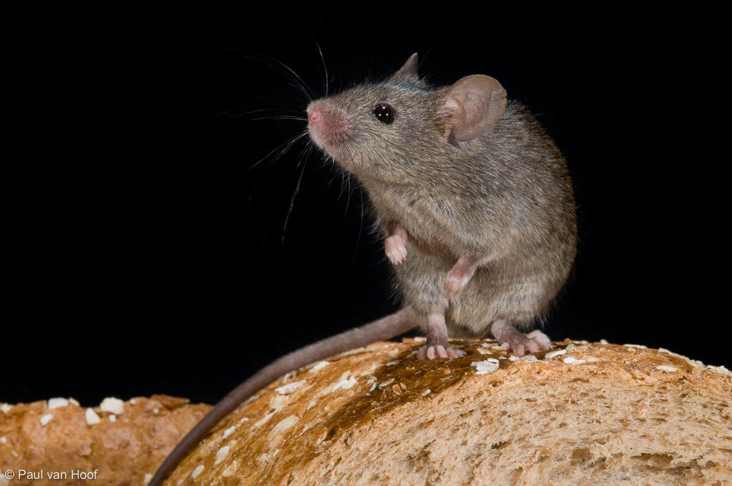 Huismuis; House mouse; Mus musculus domesticus