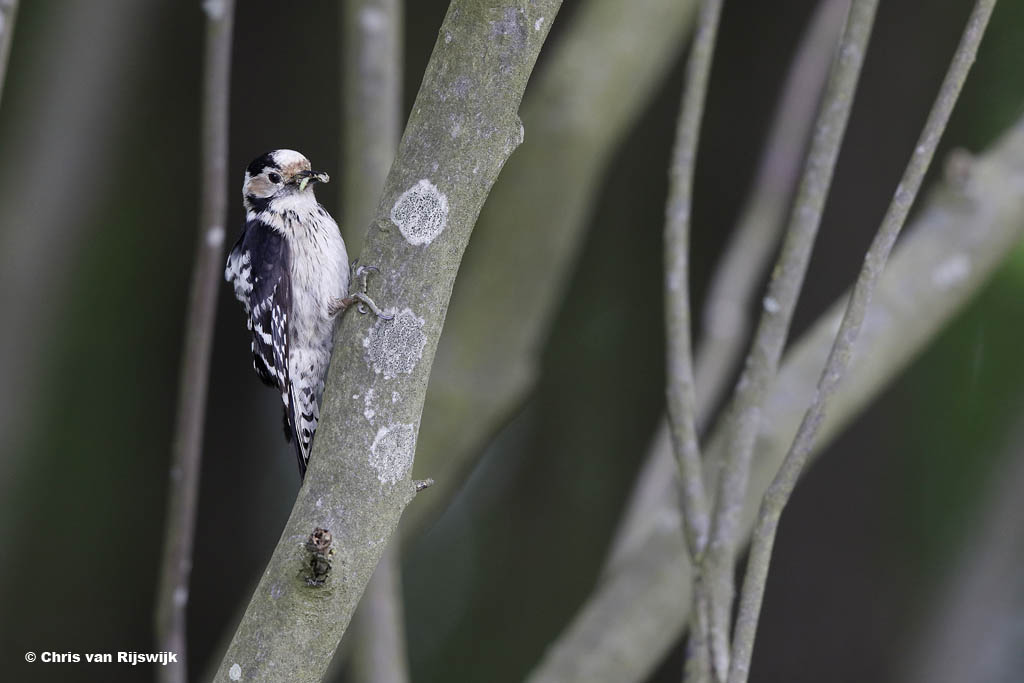 Kleine bonte specht. Een semi-nestfoto.