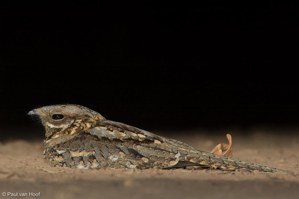 Moorse nachtzwaluw; Red-necked nightjar; Caprimulgus ruficollis