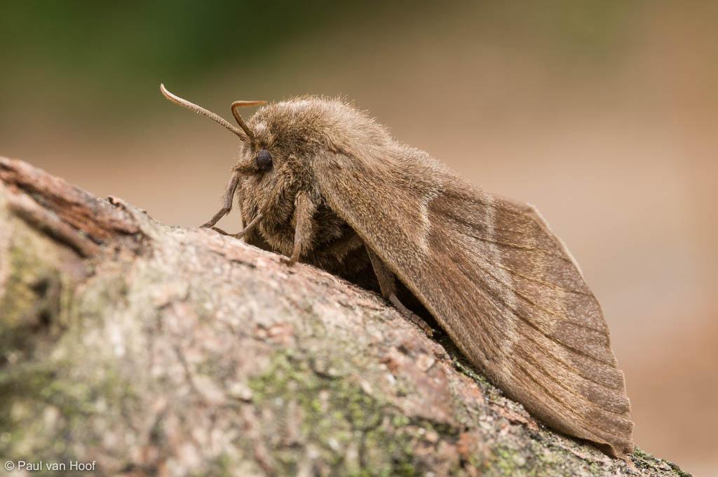Veelvraat; Fox moth; Macrothylacia rubi