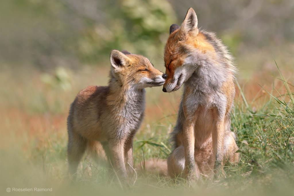 Moedervos met vossenwelpje