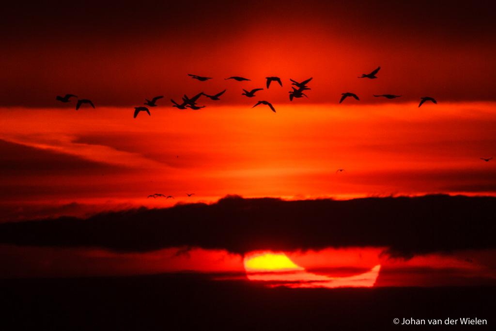 4 jan . 2011, de zon komt verduisterd op en de bewolking gaf even een gat. dan is het hopen op - geluk! - de ganzen
