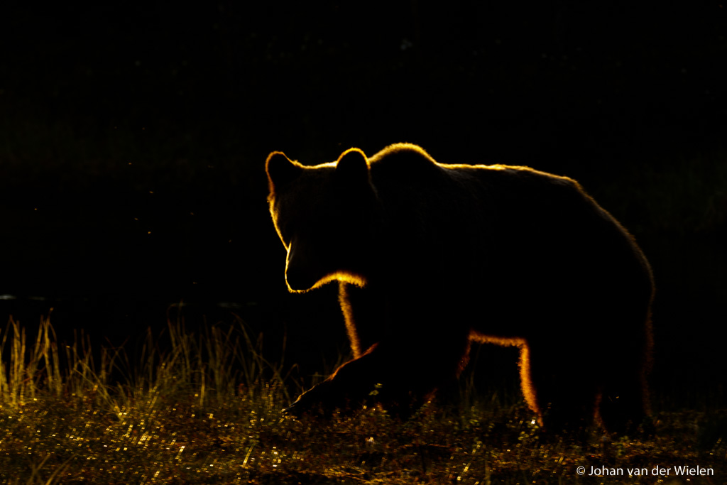 12 juni 2016, golden bear. Alle omstandigheden zijn perfect maar het is de beer die - geluk! - besluit om te komen