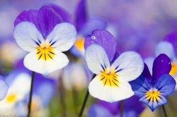 Viola tricolor; Driekleurig viooltje; Pansy violet