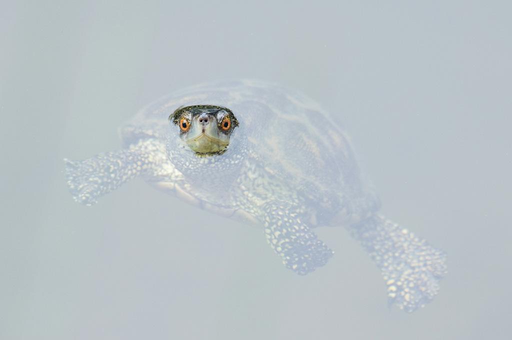Europese moerasschildpad (Lesbos)
