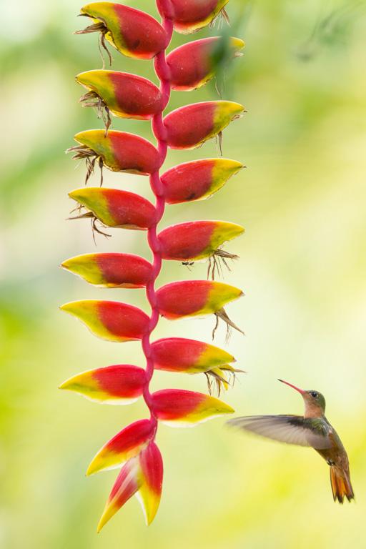 Kaneelkleurige amazilia (Costa Rica)