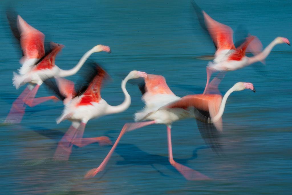 Europese flamingo (Camarque, Frankrijk)