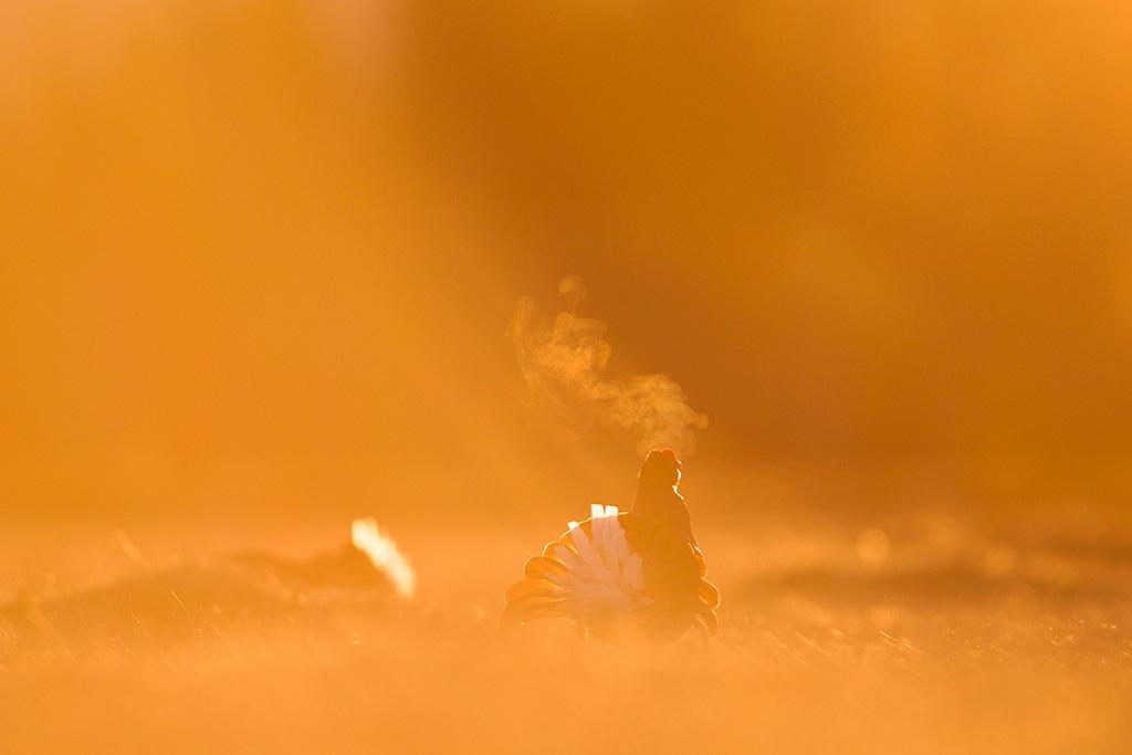 Baltsende korhoenders in het eerste licht van de dag