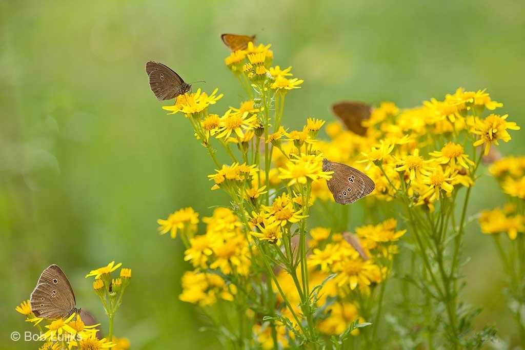 Heb je het aantal vlinders al geteld dat in dit ene groepje Jakobskruiskruid zit?