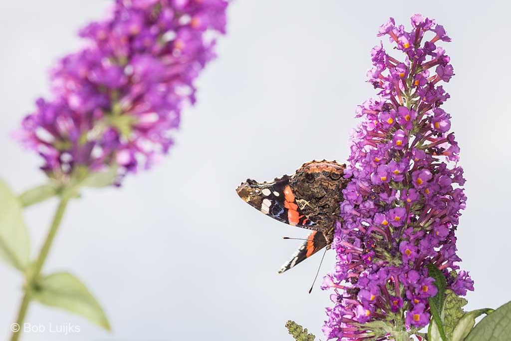 Vlinderplezier met een vlinderstruik.