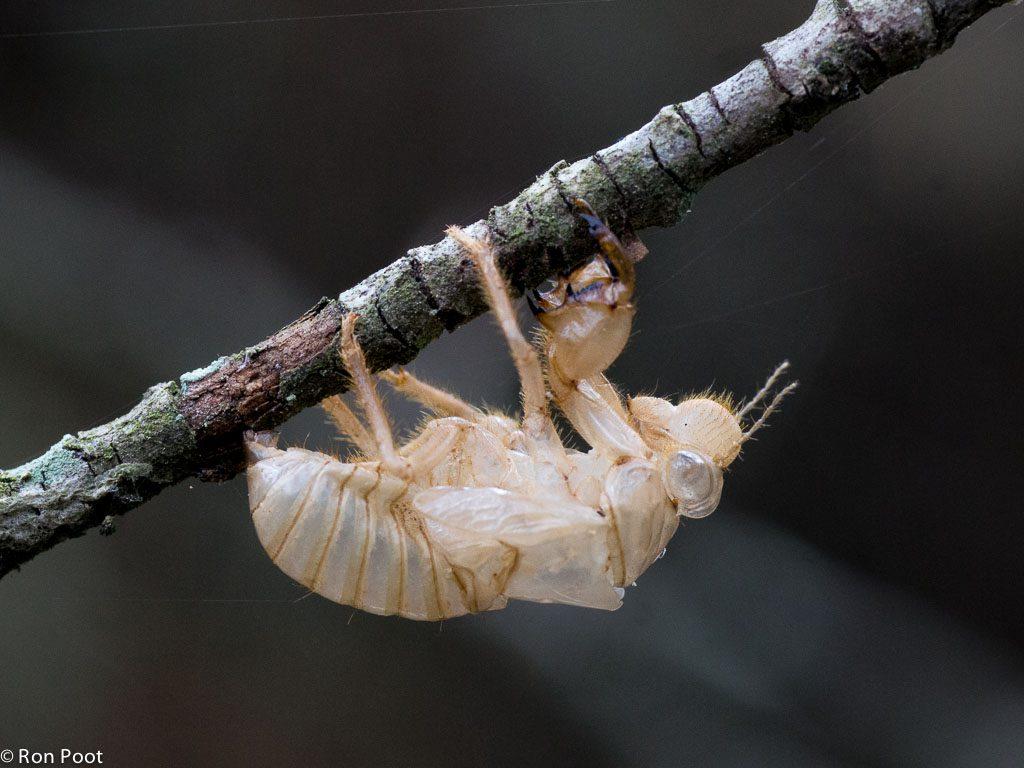 In het lege huidje kun je de vorm van het laatste larvenstadium goed zien, de vleugels zijn hier nog maar klein.