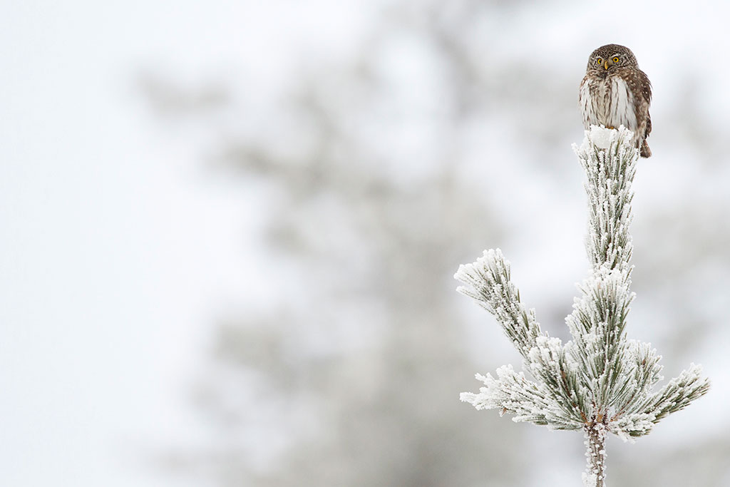 Dwerguil op de uitkijk in winterse setting