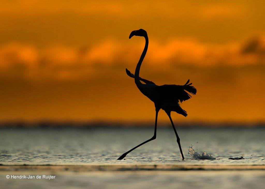 Flamingo, Frankrijk