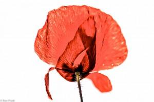 Een bloem van de grote klaproos. - Fotograaf: Ron Poot
