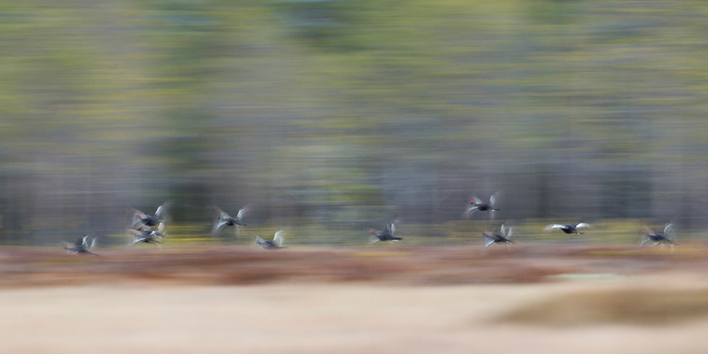 Korhoenders in vlucht