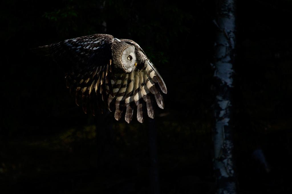 Laplanduil in vlucht