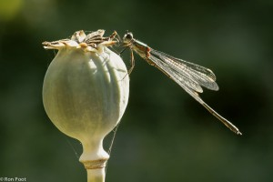 Houtpantserjuffer op een uitgebloede papavervrucht. - Fotograaf: Ron Poot